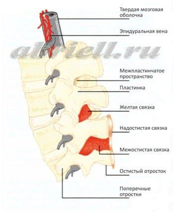 Оболочки спинного мозга в объёмном изображении